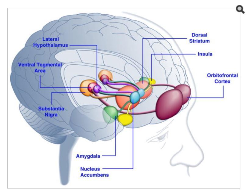https://thepaleodiet-assets.s3.amazonaws.com/images/Areas-of-the-brain-Addiction.jpg?mtime=20200115114451&focal=none