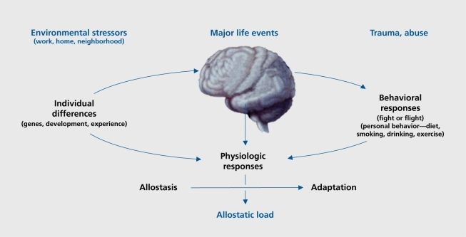"""McEwen, Bruce S. """"Protective and Damaging Effects of Stress Mediators: Central Role of the Brain."""" Dialogues in Clinical Neuroscience 8.4 (2006): 367–381. Print."""