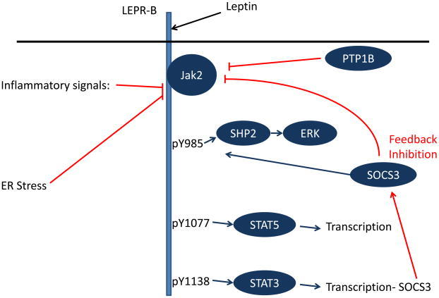 """Obesity and Leptin Resistance."" Trends in endocrinology and metabolism: TEM 21.11 (2010)"