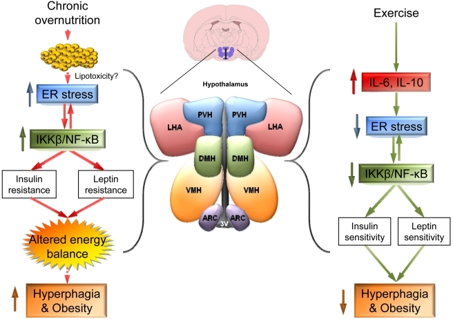 "Martínez de Morentin""'Mens Sana In Corpore Sano': Exercise and Hypothalamic ER Stress."" PLoS Biology 8.8 (2010): e1000464."