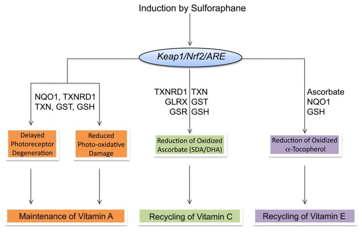 "Boddupalli, Sekhar et al. ""Induction of Phase 2 Antioxidant Enzymes by Broccoli Sulforaphane: Perspectives in Maintaining the Antioxidant Activity of Vitamins A, C, and E."" Frontiers in Genetics 3 (2012): 7. PMC. Web. 20 Jan. 2015."