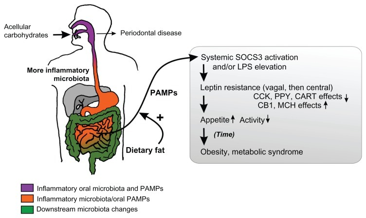 """Spreadbury, Ian. """"Comparison with Ancestral Diets Suggests Dense Acellular Carbohydrates Promote an Inflammatory Microbiota, and May Be the Primary Dietary Cause of Leptin Resistance and Obesity."""" Diabetes, Metabolic Syndrome and Obesity: Targets and Therapy 5 (2012): 175–189. PMC. Web. 19 Aug. 2015."""