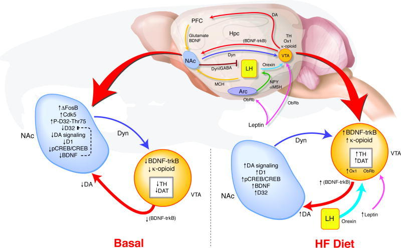 "Teegarden, Sarah L., Eric J. Nestler, and Tracy L. Bale. ""ΔFosB-Mediated Alterations in Dopamine Signaling Are Normalized by a Palatable High Fat Diet."" Biological psychiatry 64.11 (2008): 941–950. PMC. Web. 6 Mar. 2015."