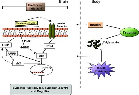 """Agrawal, Rahul, and Fernando Gomez-Pinilla. """"'Metabolic Syndrome' in the Brain: Deficiency in Omega-3 Fatty Acid Exacerbates Dysfunctions in Insulin Receptor Signalling and Cognition."""" The Journal of Physiology 590.Pt 10 (2012): 2485–2499. PMC. Web. 7 Aug. 2015."""